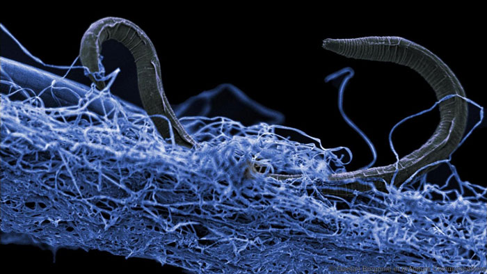 A nematode in a biofilm of microorganisms